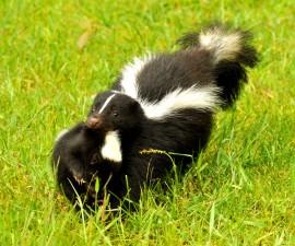 18942143 - mother skunk carries her baby.